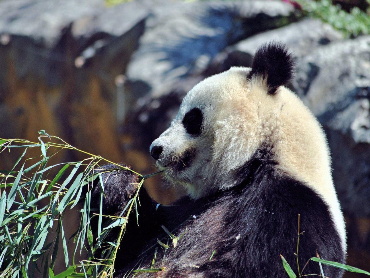 Panda géant Giant Panda 4 by kordouane Share your