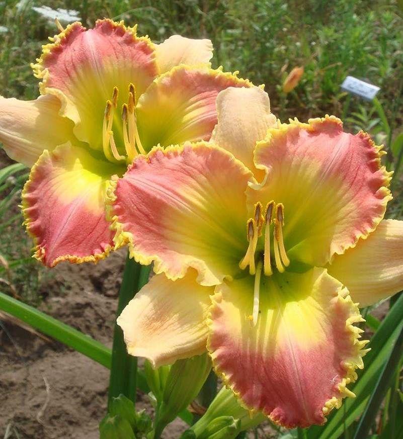 57 Amazing Beautiful Garden Ideas Inspiration And: ROSEMARY MUSSAR (Mussar 2013) SF Hillside Dayliles