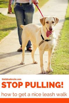 How To Stop Your Labrador Pulling On The Lead Dog Training Dog
