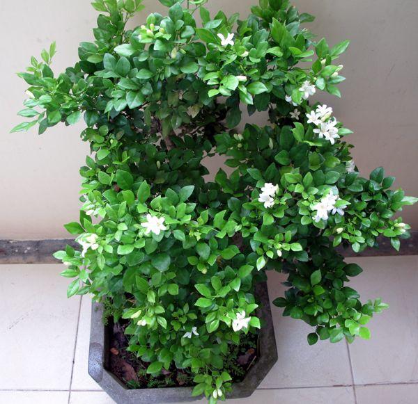 Cay Nguyệt Quế Tree Bonsai Plants Herbs