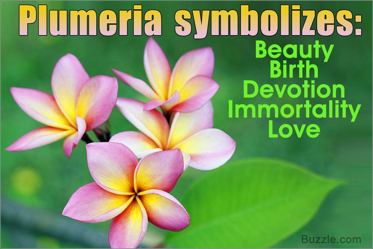 Plumeria Flower Meaning Its Deep Symbolism In Various Cultures Plumeria Flowers Flower Meanings Plumeria
