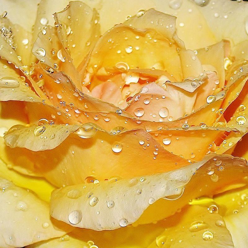 Когда в ночи розы цветут, ты негромко меня позови; . Обсуждение на LiveInternet - Российский Сервис Онлайн-Дневников