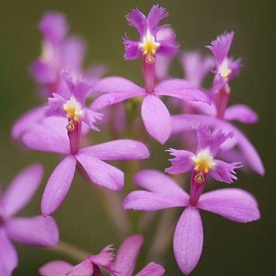 <i>Epidendrum</i> - Amazingly Easy Orchid Variteies - Sunset