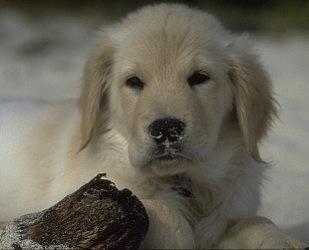 Coconut Retriever Wildlife Photography Hush Puppies Puppies