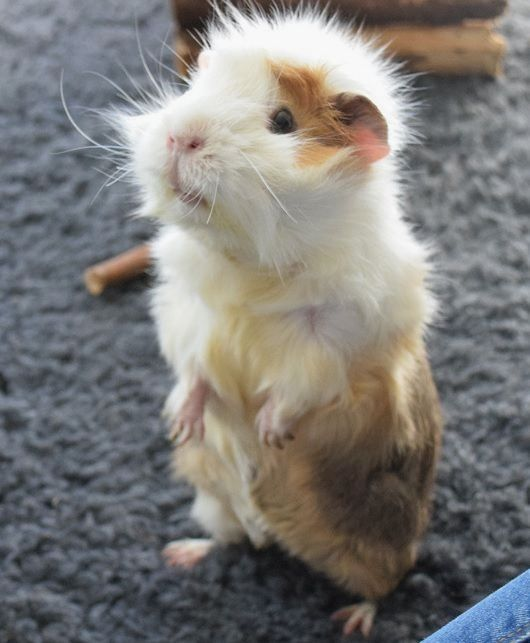 Meerschweinchen Meerschweinchen Meerschweinchen Baby Susse Tiere