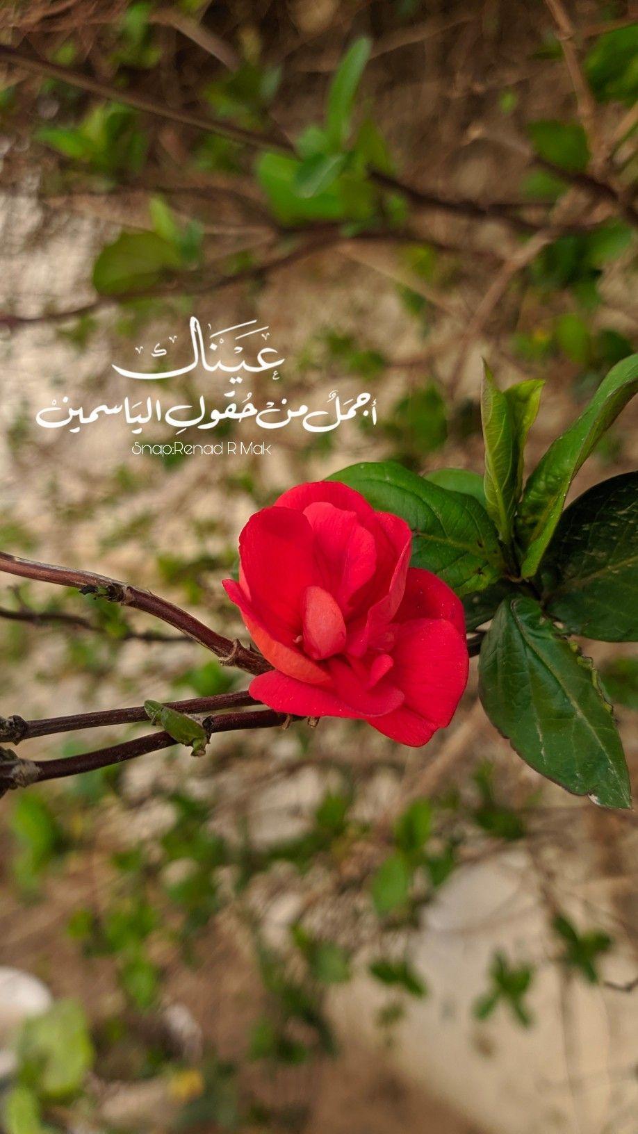 عيناك اجمل من حقول الياسمين سناباتي تصويري سنابات Flowers Plants Rose