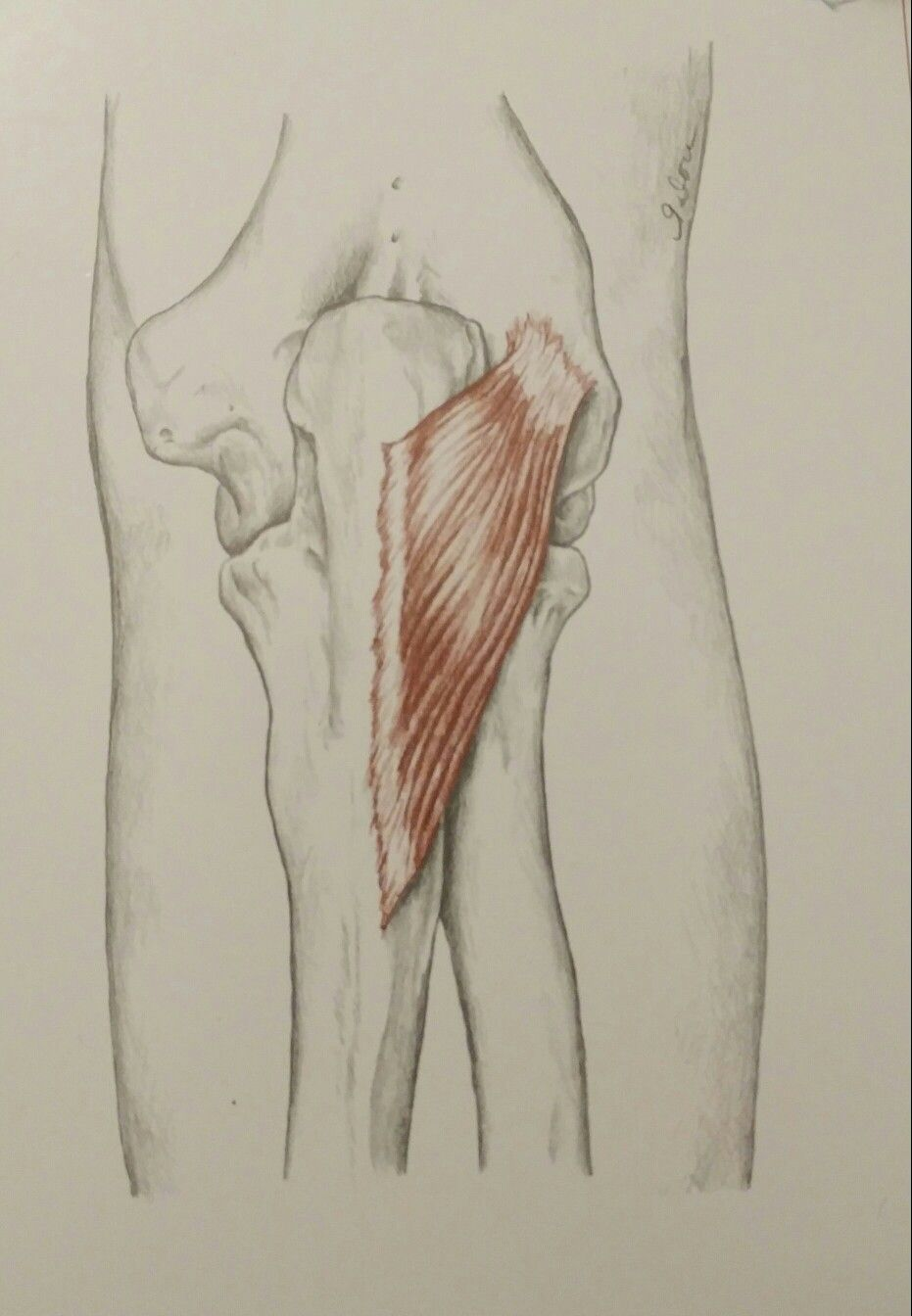 Anconeus   Anatomy - Forearm & Hand Muscles   Pinterest   Anatomy ...