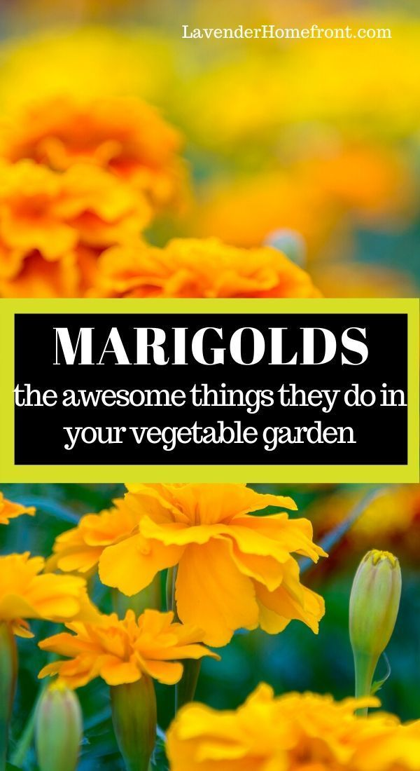 Learn the many benefits of planting this happy flower in your vegetable garden. Marigolds make great companion plants and are easy to grow too. #companionplanting #gardeningtips #gardenplanting #vegetablegarden