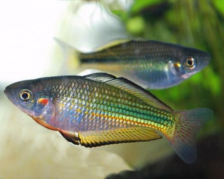 Australian Rainbowfish 5cm Tropical Freshwater Fish Rainbow Fish Tropical Fish