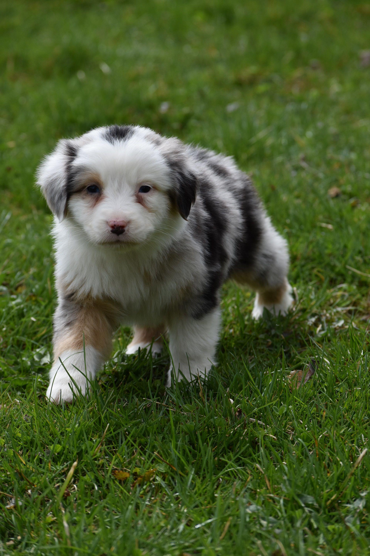 Australian shepherd puppies for sale australian shepherd