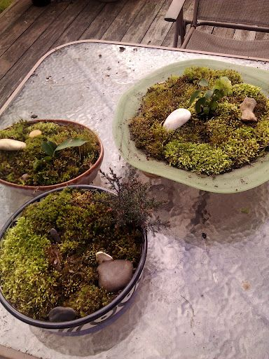 A first attempt at moss gardens.  Just used mosses found in my backyard.
