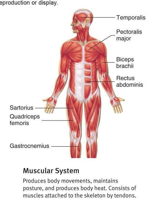 muscular system blank diagram | human anatomy picture | pinterest, Muscles