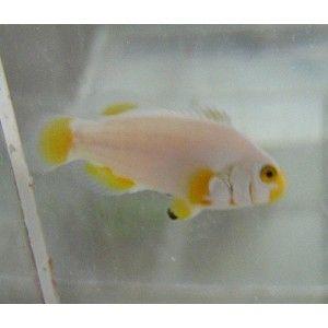 Ora Platinum Percula Clownfish Saltwater Fish Clownfish Clown Fish Live Animals Fish Pet