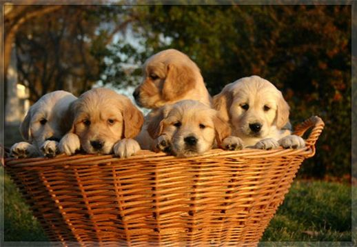 My Idea Of A Gift Basket Puppies Golden Retriever Puppies For Sale