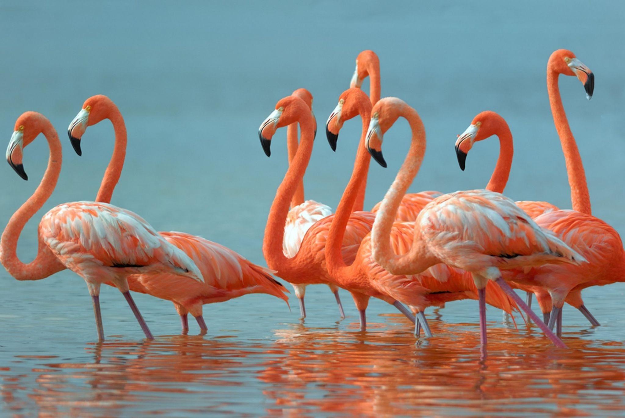 flamingo desktop wallpaper hd wallpapers Flamingo