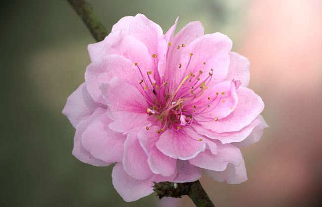 The Macro Cherry Blossom Most Beautiful Among The Flowers Of Myanmar Cherry Blossom Images Cherry Blossom Flowers Ornamental Cherry