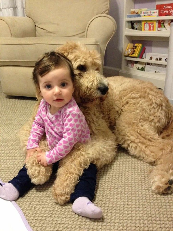 train a golden doodle with kids. todocat