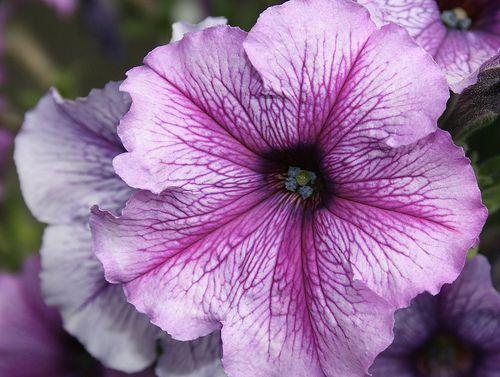 Pretty Purple Petunia Sprache Der Blumen Bedeutung Von Blumen Pflanzen