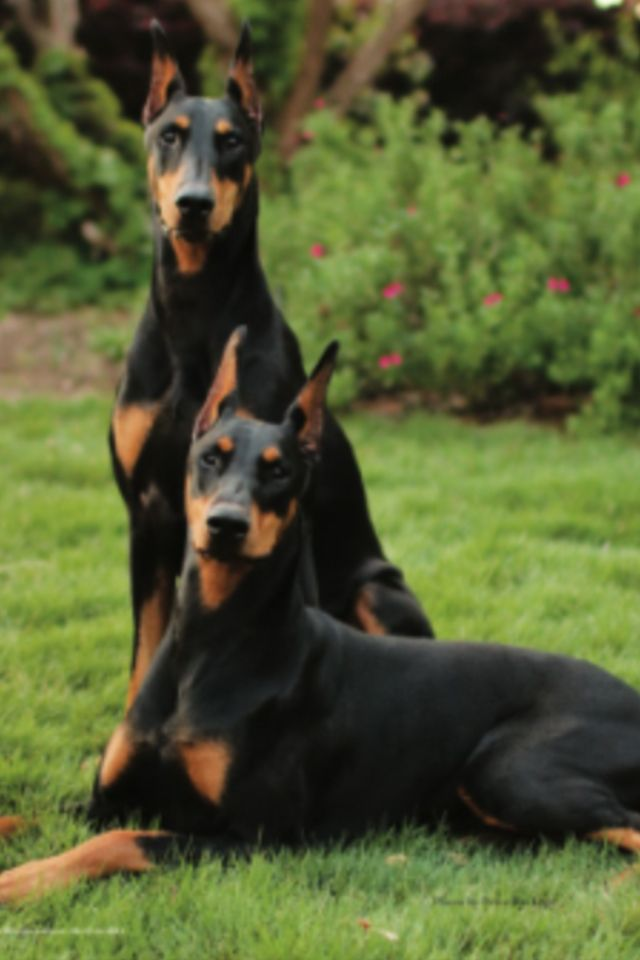 A Beautiful Pair Of Dobermans So Awesome Doberman Dogs Dogs
