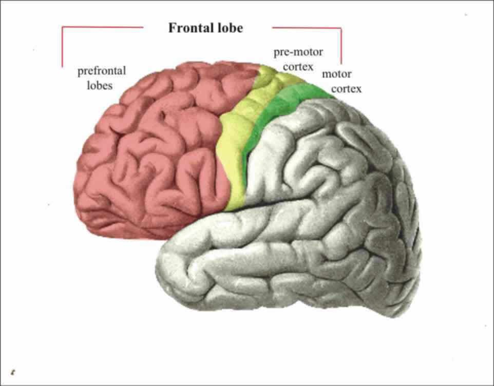 prefrontal and frontal cortex google search anatomy pinterest