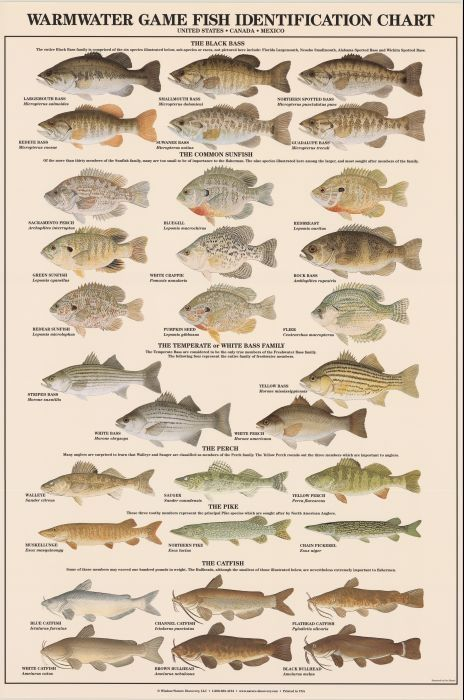 Warmwater game fish identification poster boys room for Illinois fish species