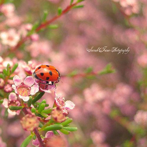 ..::Lady in red::.. by Whimsical-Dreams Marihøne koser seg på kvisten med blomstene. Vakkert.
