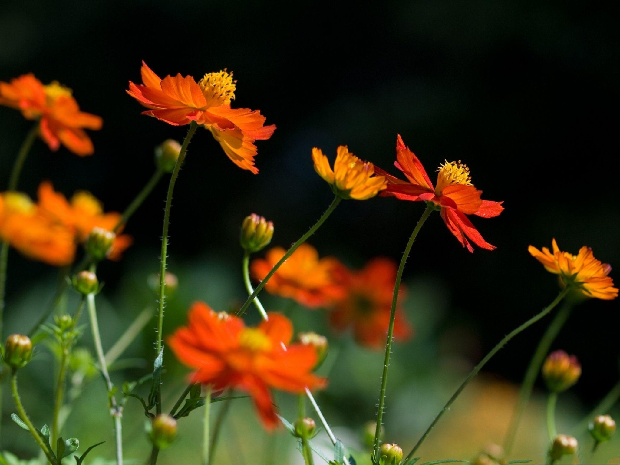 Orange Cosmos Flowers Cosmos Flowers Late Summer Flowers Cosmos