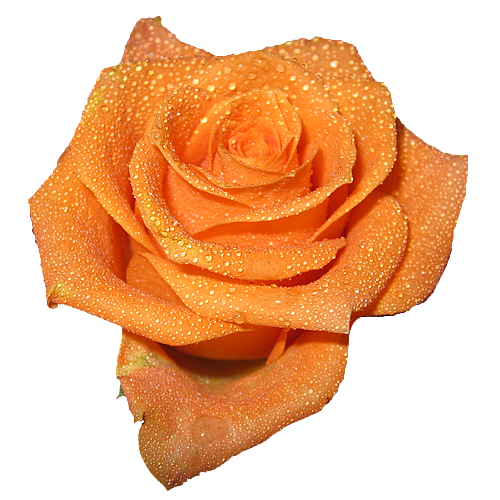 An Entry From Transparent Flowers Powered By Tumblr Com Transparent Flowers Flower Aesthetic Orange Aesthetic