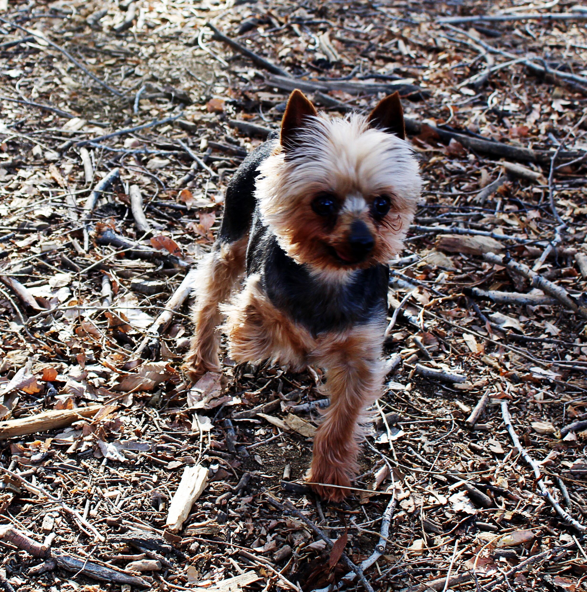 Augustus the Tiny Mighty Yorkshire Terrier Yorkie, puppy