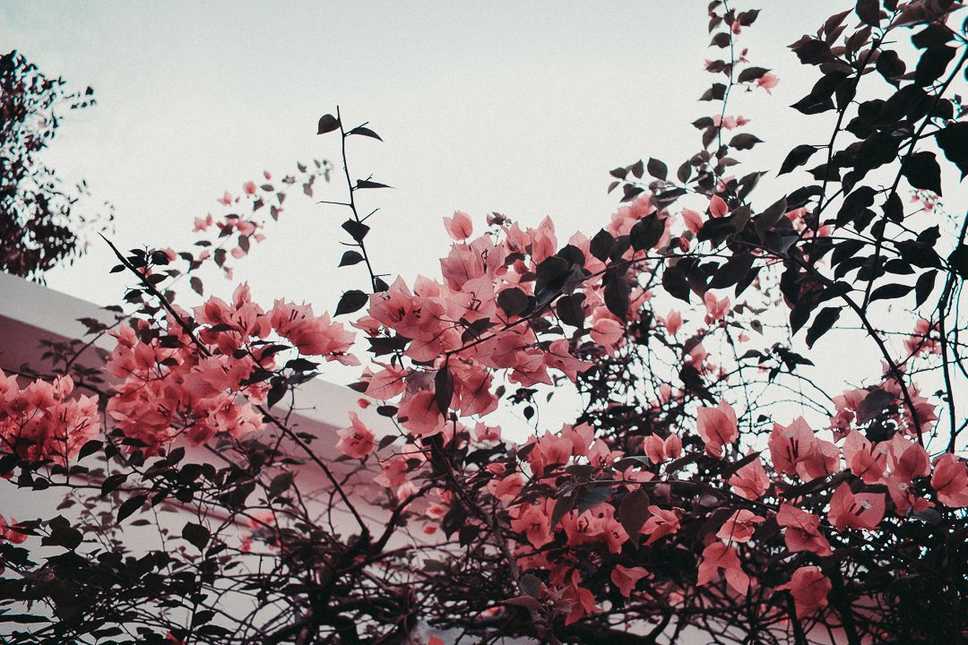 A Fresh Morning 3 Aesthetic Pink Flowers Indie Wallpaper