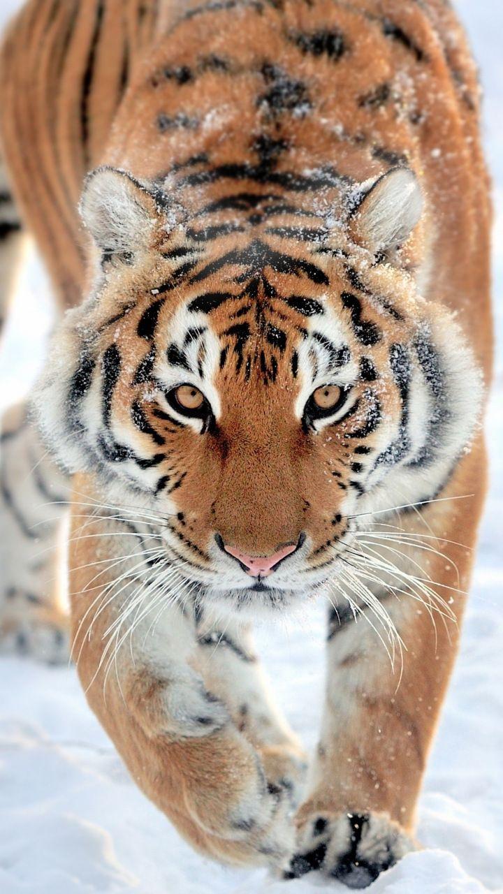 Tiger Walk Predator Wildlife 720x1280 Wallpaper Tigres Pinterest