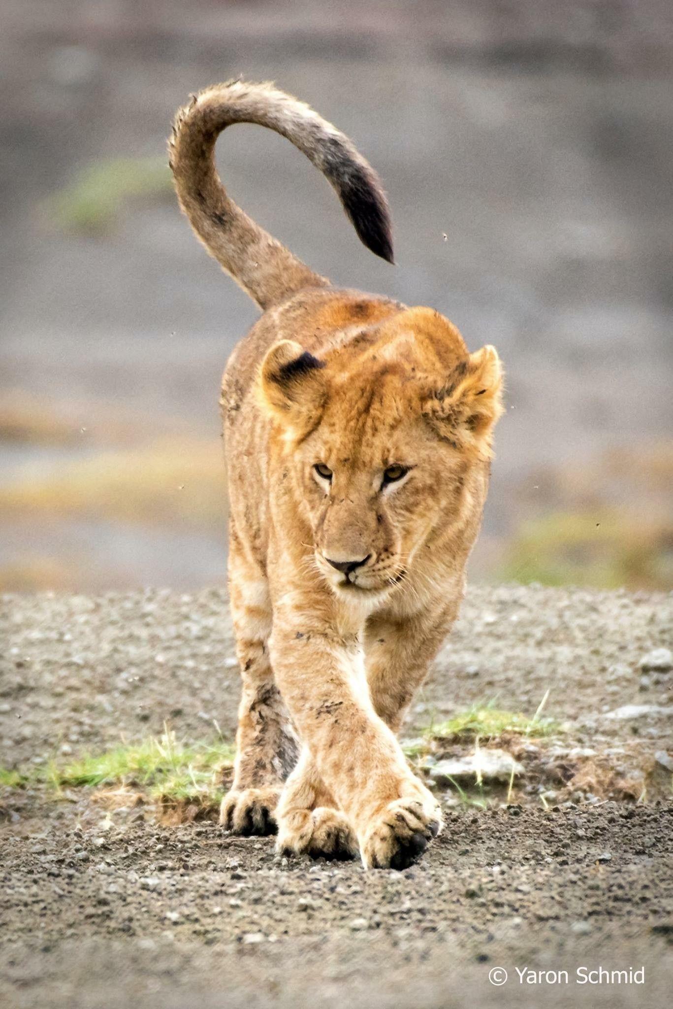 Pin de Donald Pope en Lions | Pinterest | Lobos y León