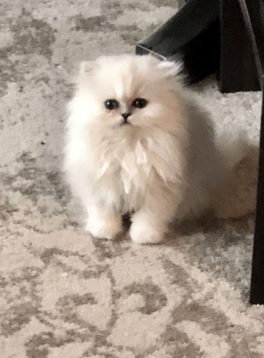 Persian Cats For Sale Cicero In Persian Cat Persian Cats For Sale Cats For Sale