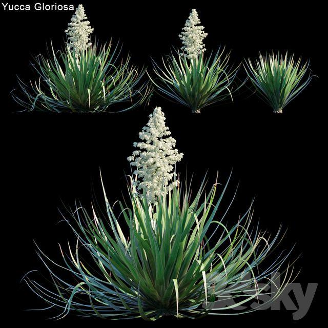 3d models Bush Yucca Gloriosa Yucca superbe Yucca