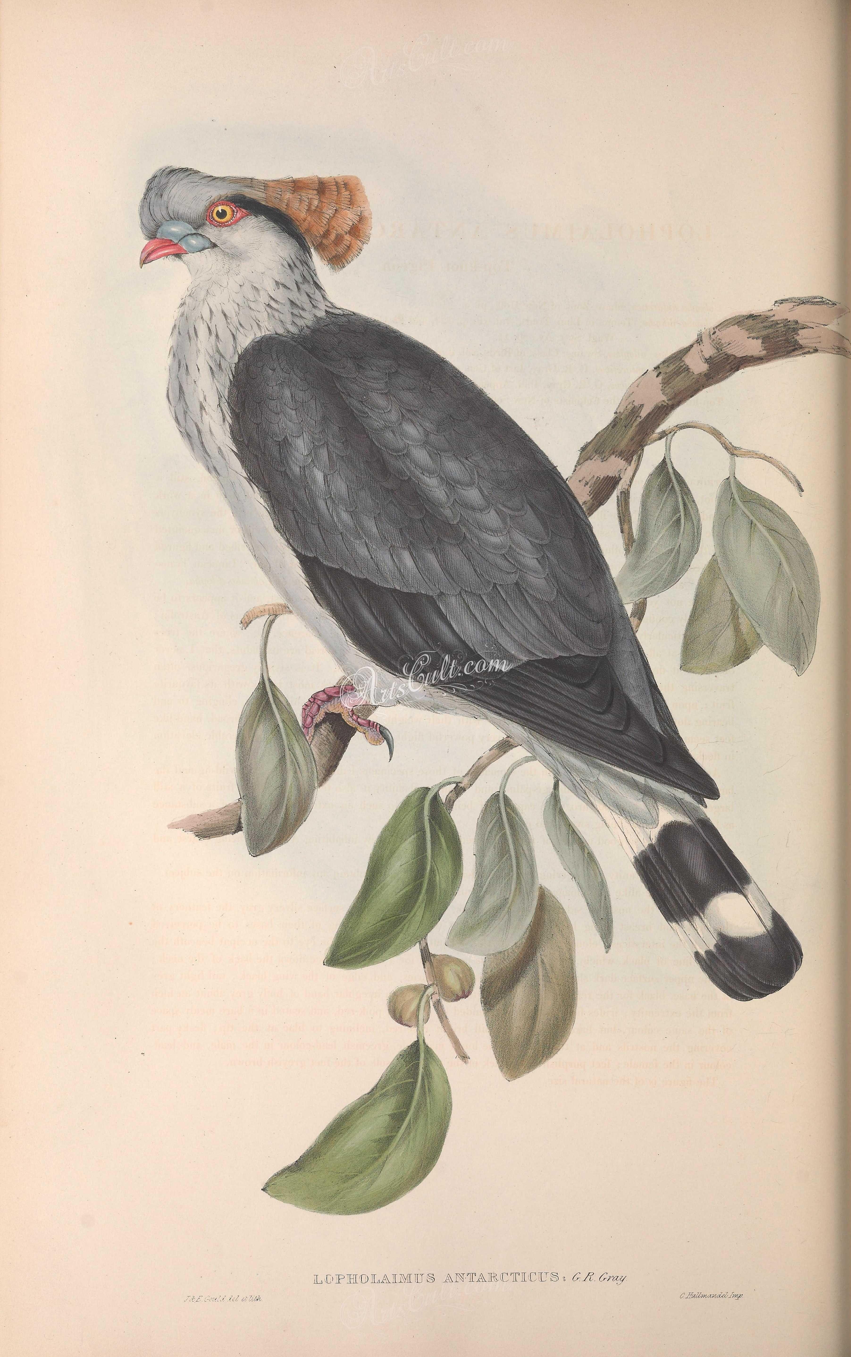Birds topknot pigeon lopholaimus antarcticus craft flora