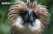 Close up of a captive Philippine eagle