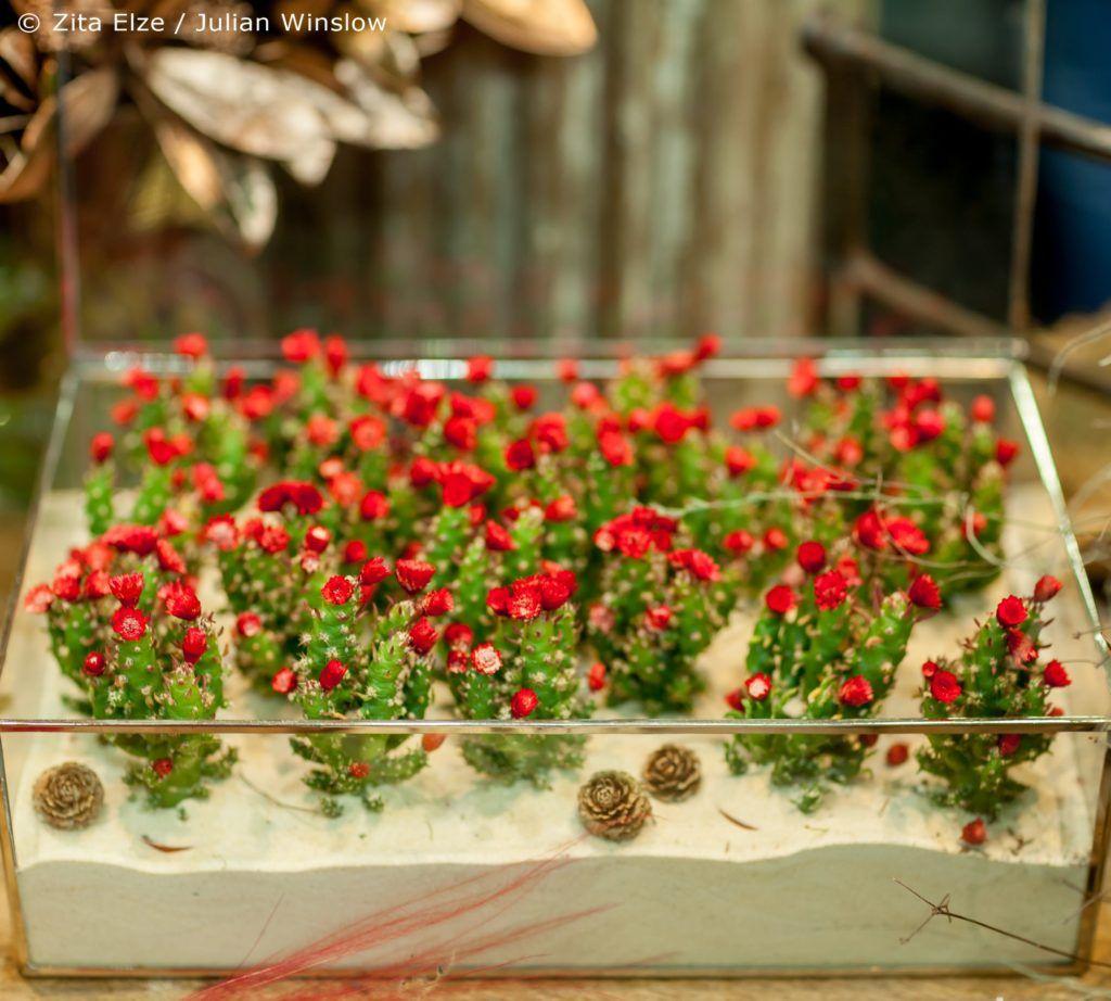 Zita Elze Christmas Cacti In Flower In A Miniature Terrarium Garden