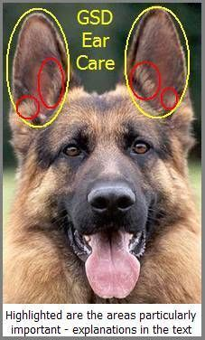 Gsd Ear Care German Shepherd Ears German Shepherd Care German