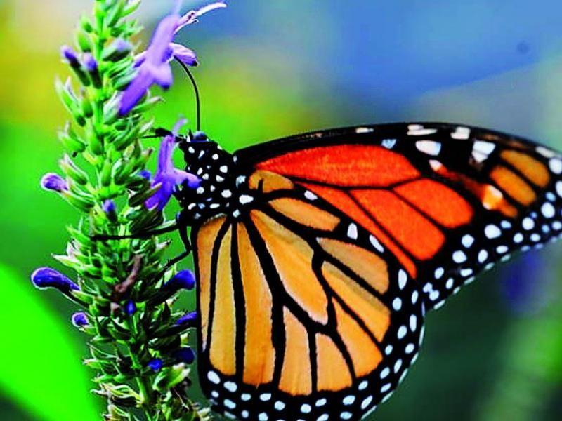 Pérdida de habitat amenaza mariposas monarca. Cada año, las monarca pasan el invierno en México y después vuelan al sur de Estados Unidos, donde se reproducen para dejar una nueva generación de mariposas antes de morir.