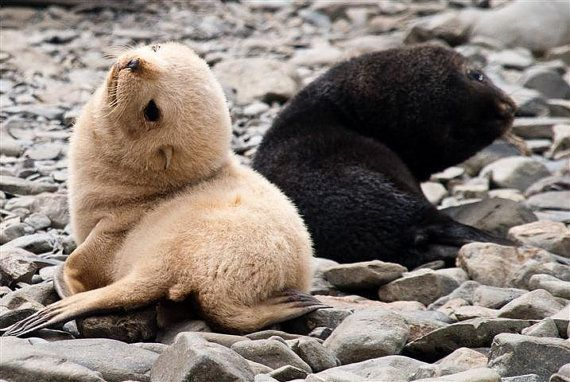 A blonde Antarctic fur seal pup investigates the world with its  brown-furred brethren on South Georgia. Approximately 1… | Cute seals, Cute  animals, Therapy animals