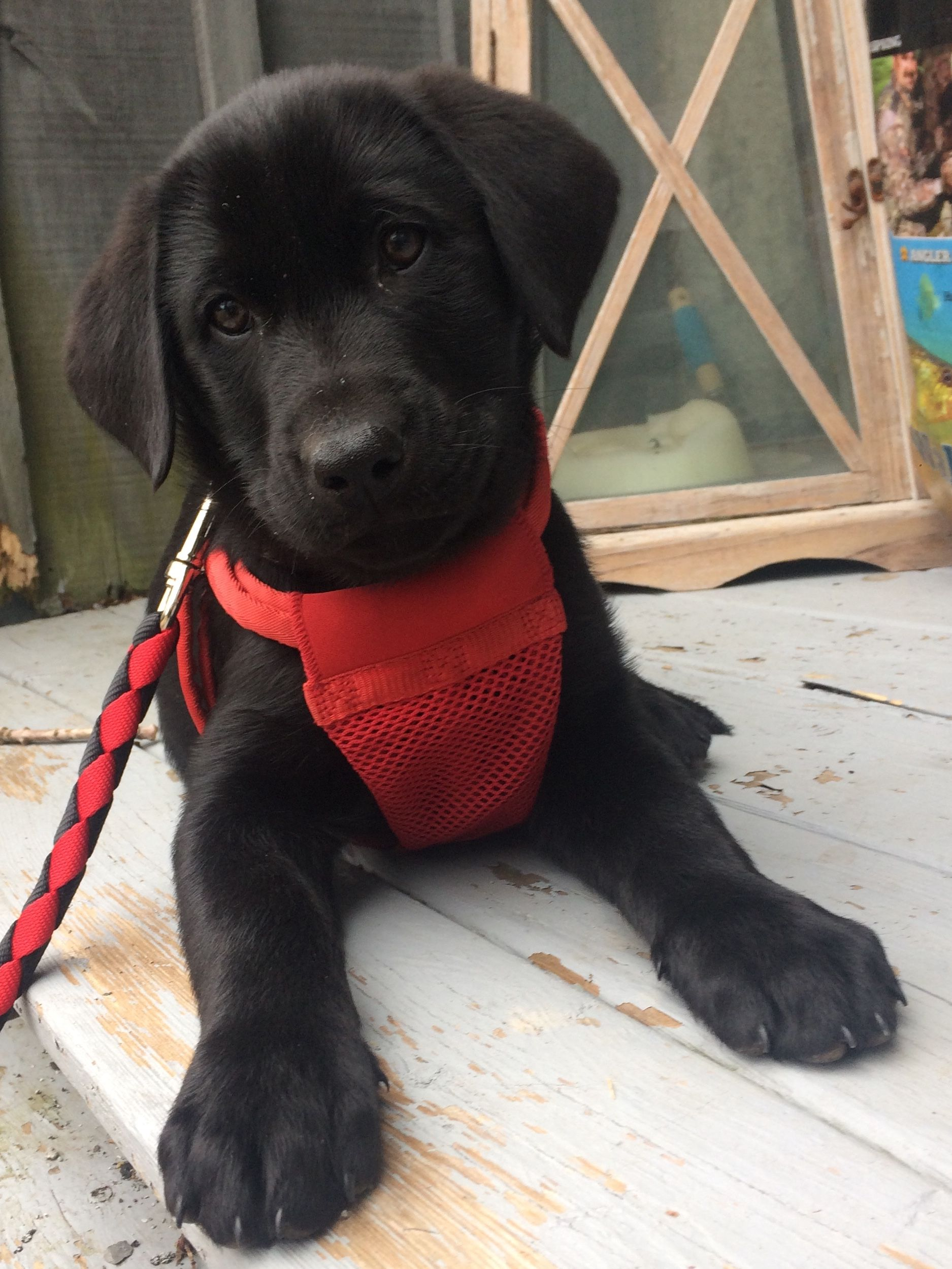 9 Week Old Black Lab With Images Baby Dogs Black Lab Puppies