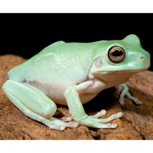 White S Dumpy Tree Frog Live Reptiles Petsmart Dumpy Tree Frog Whites Tree Frog Tree Frogs