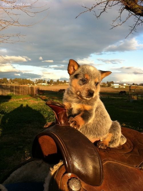 Australian Cattle Dog Puppy Someday I Ll Be Bigger Then I Ll Get Down Off This Horse Start Blue Heeler Dogs Cattle Dog Puppy Austrailian Cattle Dog