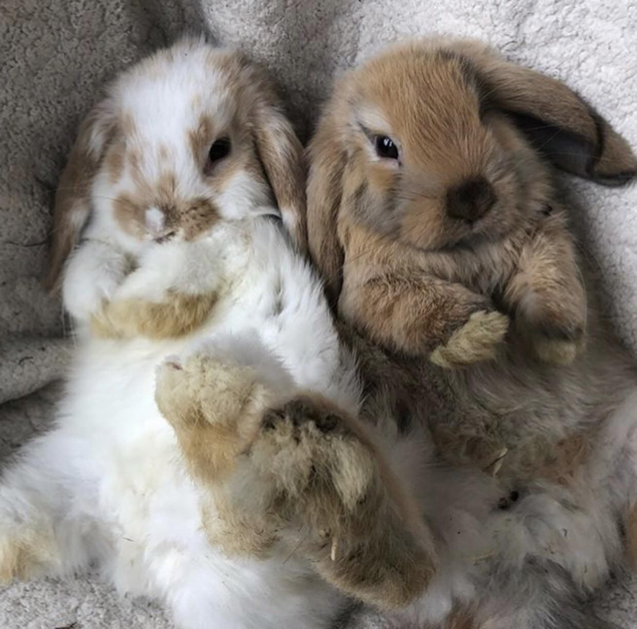 Our Holland Lops, Levi (Left) and Cinnabun (Right), They