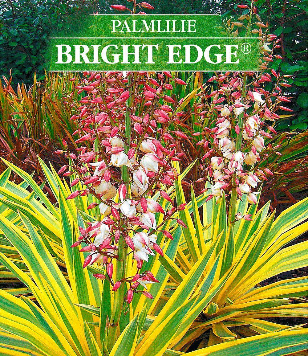 Stunning Yucca uBright Edge u Gartenstauden bei BALDUR Garten