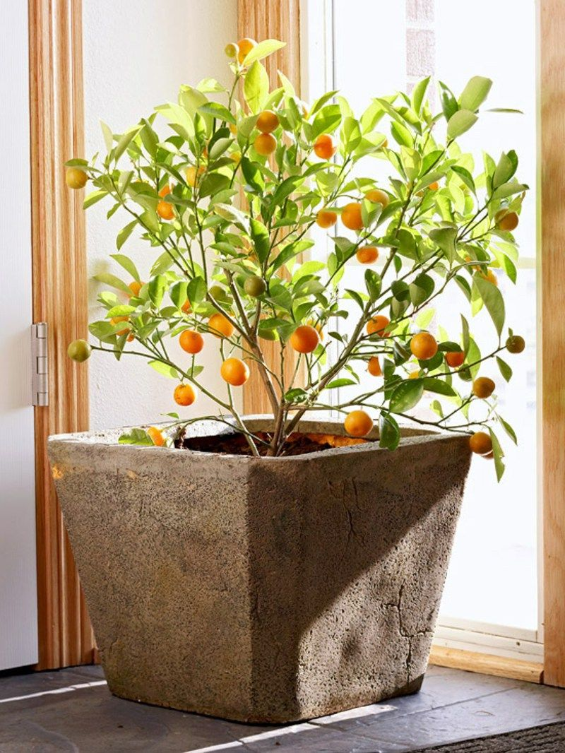 Bluhende Zimmerpflanzen Orangenbaum Zimmerpflanzen Ideen Plants