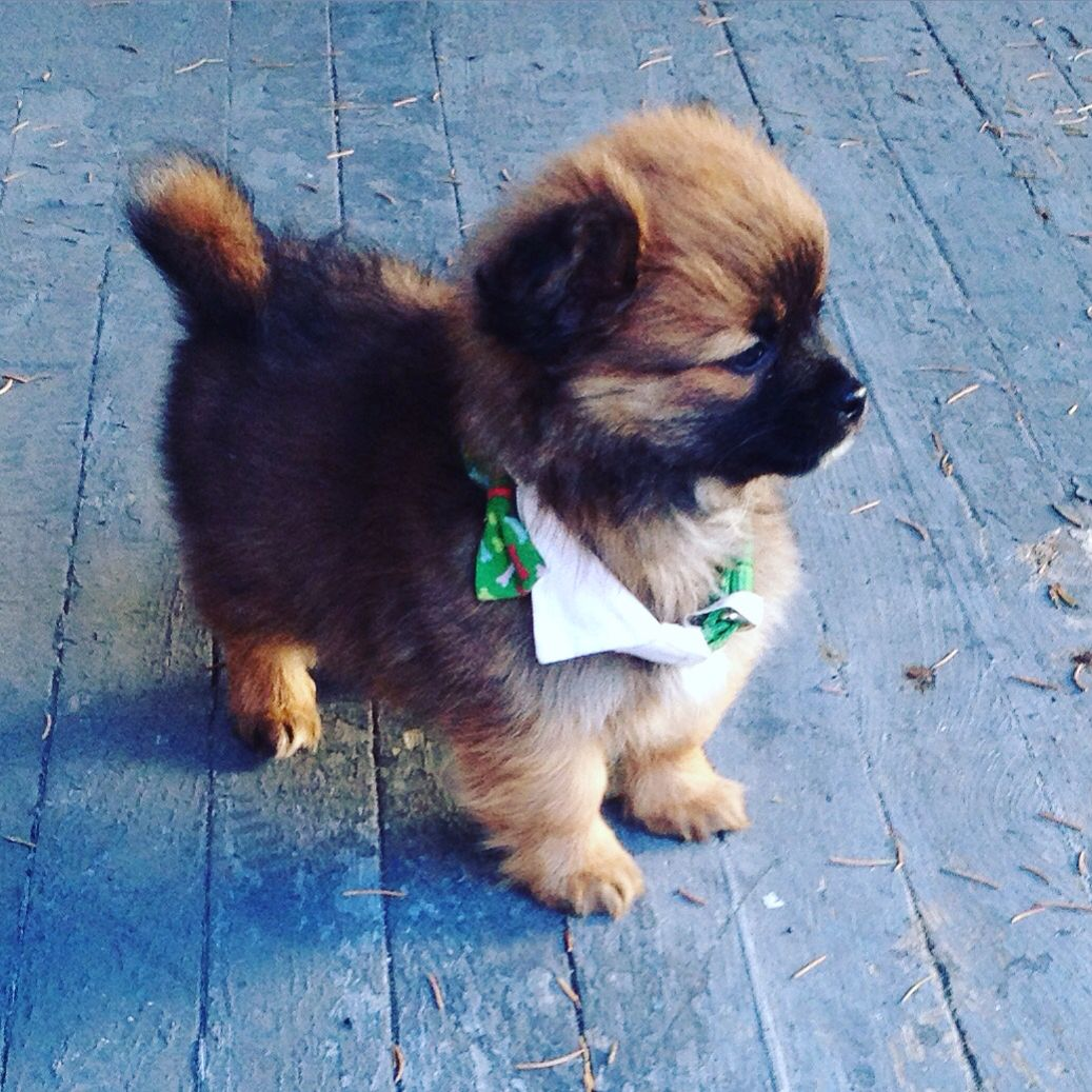This Is Logan Hes A Shih Tzu Chihuahua Mix My Little Sisters Dog