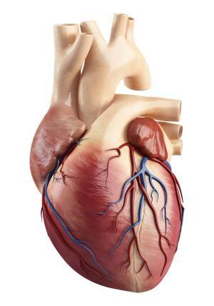 El corazón humano | El corazon humano, Corazón humano y Cómo fue
