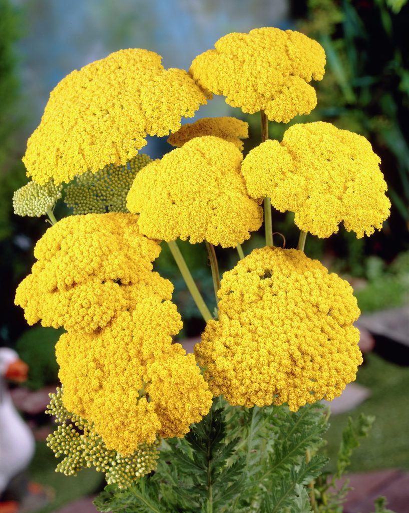 Fernleaf Yarrow Cloth Of Gold Achillea Cloth Of Gold Duizendblad Gele Bloemen Borders Met Vaste Planten