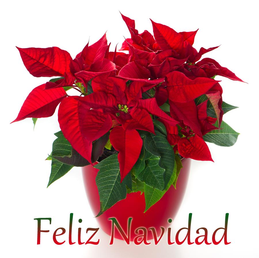 Tarjeta De Navidad Con Flores Navidenas Para Whatsapp Flor De Navidad Flor De Pascua Imagenes De Nochebuena